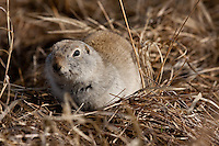 I didn't have nearly the success I had hoped for while birding at Frank Lake, so it very fortunate that the gophers were happy to pose for me and let me get in very close!..©2009, Sean Phillips.http://www.Sean-Phillips.com