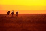 Image of three antelopes at the Masai Mara National Reserve in Kenya, Africa