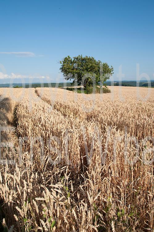 Landschaft, Getreidefeld mit Baum, bei Höchst im Odenwald, Odenwald, Naturpark Bergstraße-Odenwald, Hessen, Deutschland   tree in corn field near Höchst im Odenwald, Odenwald, Hessen, Germany