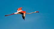 Greater Flamingo, Phoenicopterus roseus, from Camargue, Provence, France.