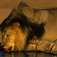 Lion drinking water at a water hole early in the morning in the Kalahari National Park South Africa.