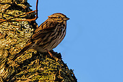 Song Sparrow - Melospiza melodia standin on the side of a tree trunck