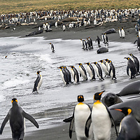 King penguins walk into and out of the water on a busy shoreline in a massive breeding colony at Gold Harbour on South Georgia Island.