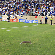 Photographer Howard Smith saves a squirrel after it appeared on the pitch during the Haiti V Honduras CONCACAF Gold Cup group B football match at Red Bull Arena, Harrison, New Jersey. USA. The squirrel, looking for a place to hide ended up in the sports photographers computer sunscreen protector and was led away from the stadium by Howard Smith and security.  Red Bull Arena, Harrison, New Jersey. USA.  8th July 2013. Photo Tim Clayton