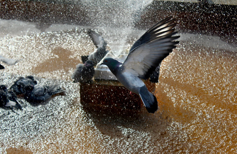 Pigeons ©Guillermo Trillo/NwnPhoto