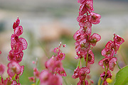 After a rare rainy season in the Judaea Desert and on the shores of the Dead Sea an abundance of wildflowers sprout out and bloom. Knotweed sorrel (Rumex cyprius syn Rumex roseus) Photographed on the shores of the Dead Sea, Israel in February