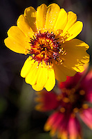 Thelesperma (Thelesperma filifolium), Blanco County, Texas