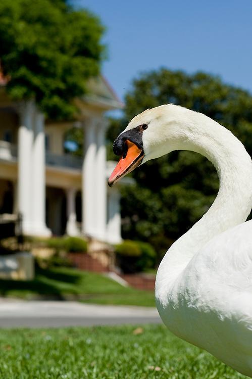 A mute swan stands around Lake Mirror in Lakeland, Florida April 11, 2008. Photo by Scott Audette