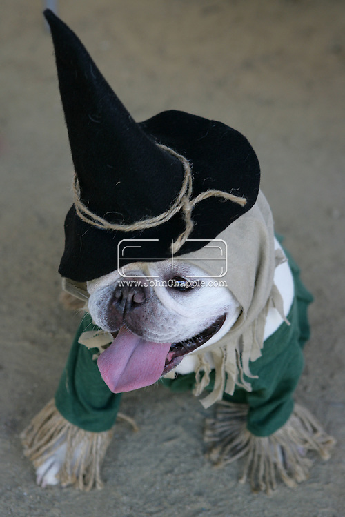 31st October 2009. Topanga, California. Much Love Animal Rescue's 6th Annual Bow Wow Ween! an annual Halloween event that helps find homes for stray animals and neglected pets. Pictured is Lola the French Bulldog dressed as the Scarecrow from the Wizard Of Oz. PHOTO © JOHN CHAPPLE / www.chapple.biz.john@chapple.biz  (001) 310 570 9100.