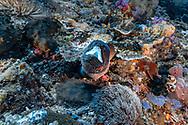 Turkey moray-Murène ponctuée (Gymnothorax meleagris), Nusa Penida island, Bali, Indonesia.