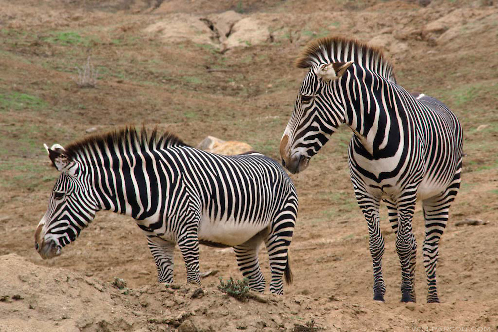 Zebras at the San Diego Zoo