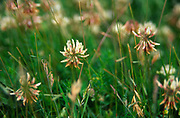 AREHW9 White clover flowers in grass growing in Butley, Suffolk, England