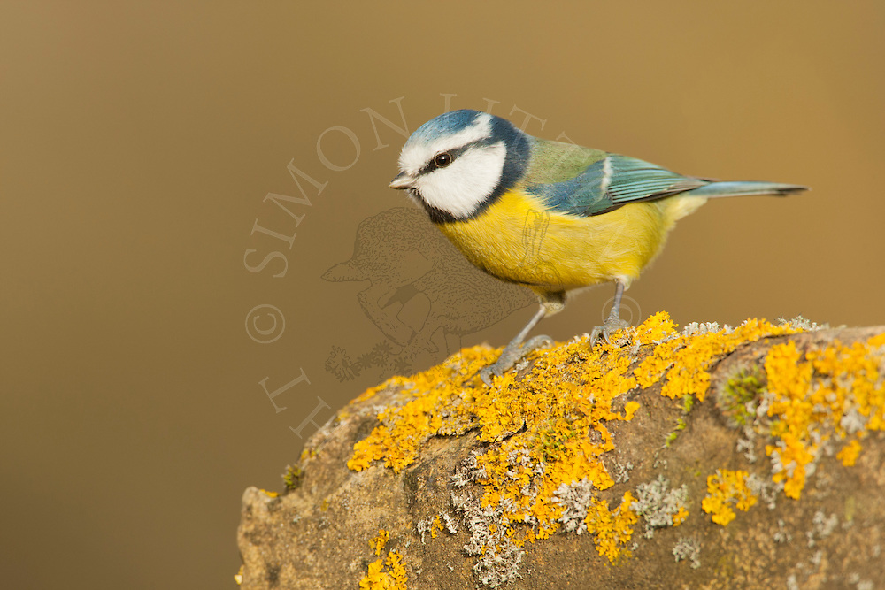Blue Tit (Parus caeruleus) adult perched on old brick wall, Norfolk, UK.