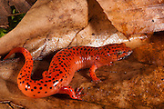 Red Salamander (Pseudotriton ruber)<br /> CAPTIVE<br /> North Georgia<br /> USA<br /> HABITAT & RANGE: Hardwood forests with wet areas caused by natural seeps, streams, floodplains. New York, Pennsylvania, Ohio, Indian & southeast states.