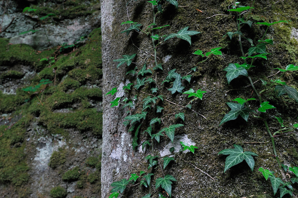 Beech tree (Fagus sylvatica) and Common Ivy (Hedera helix), Mullerthal trail, Mullerthal, Luxembourg