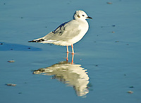 One of the smallest American gulls - this little beachcomber was showing off its winter plumage on Anastasia Island, near St. Augustine, Florida.