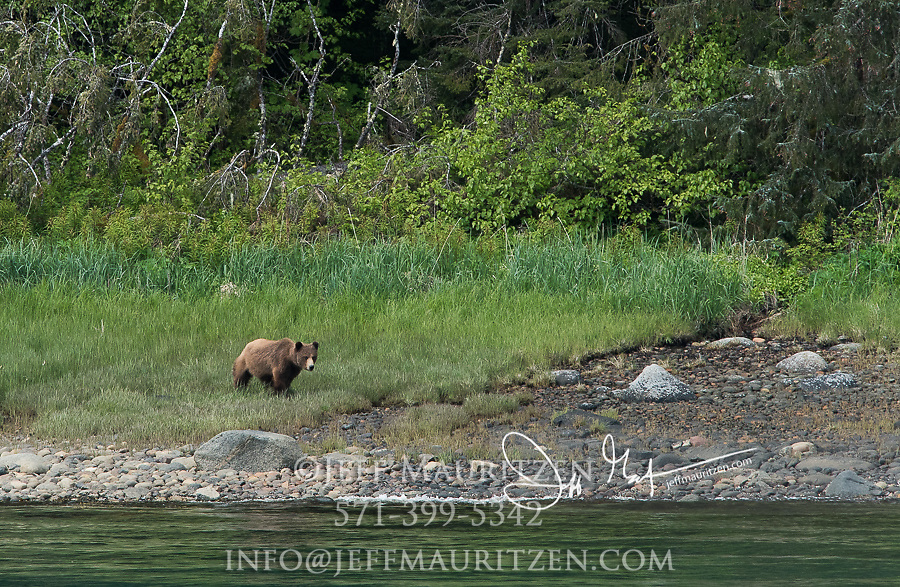 A grizzly bear walks along the coast of Endicott Arm fjord, Alaska.