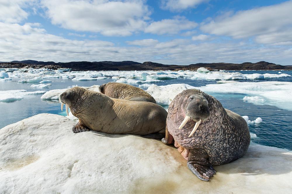 Canada, Nunavut Territory, Repulse Bay, Group of Walrus (Odobenus rosmarus) resting on ice floe in Frozen Strait near White Island along Hudson Bay