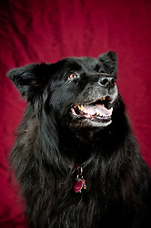 Chow mix black - owner Judy Manning