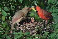 Cardinal Nest Day 7