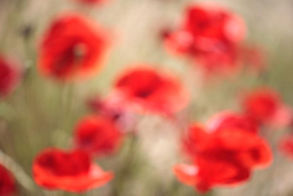Common Poppy, Papaver rhoeas.<br /> Lagadin village region, east shore Lake Ohrid (693m), Macedonia<br /> Galicica National Park, Macedonia, June 2009<br /> Mission: Macedonia, Lake Macro Prespa /  Lake Ohrid, Transnational Park<br /> David Maitland / Wild Wonders of Europe
