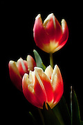 Tulips are my favorite spring flowers. They announce the beginning of warmer weather and more flowers.