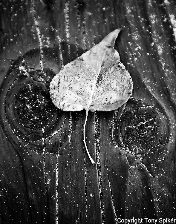 """Aspen Leaf 2"" - A black and white photograph of an Aspen leaf resting on a log"