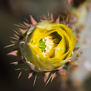 Prickly pear flower not yet fully open.