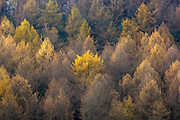 Larch trees in shades of autumn colour in coniferous forest plantation for timber production in the Brecon Beacons, Wales, UK