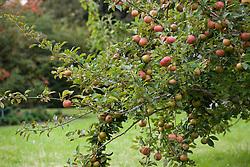 Apple in the Orchard at Sissinghurst Castle Garden