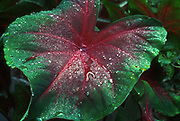 Caladium<br /> &copy;1994 Jeff Becker <br /> All Rights Reserved<br /> 5 Cedar Hill Road<br /> Easton, CT 06612<br /> 203.261.9765<br /> 203.526.4059