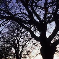 Row of bare winter English oak or Quercus robur trees in hedgerow silhouetted against evening sky with more trees visible in distance