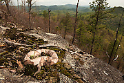 Copperhead (Agkistrodon contortrix)<br /> CAPTIVE<br /> Blue Ridge Mountains in back. Northern Georgia<br /> USA<br /> HABITAT & RANGE: Forested habitats but most common on rocky, wooded hillsides in the mountains and along swamp and river edges. South eastern USA