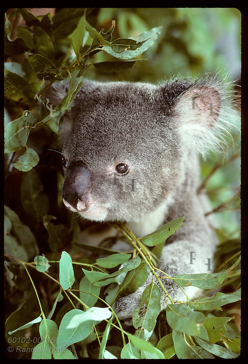 Adult male koala peers out amid eucalyptus leaves in its cage at Univ of Queensland; (v) Brisbane Australia
