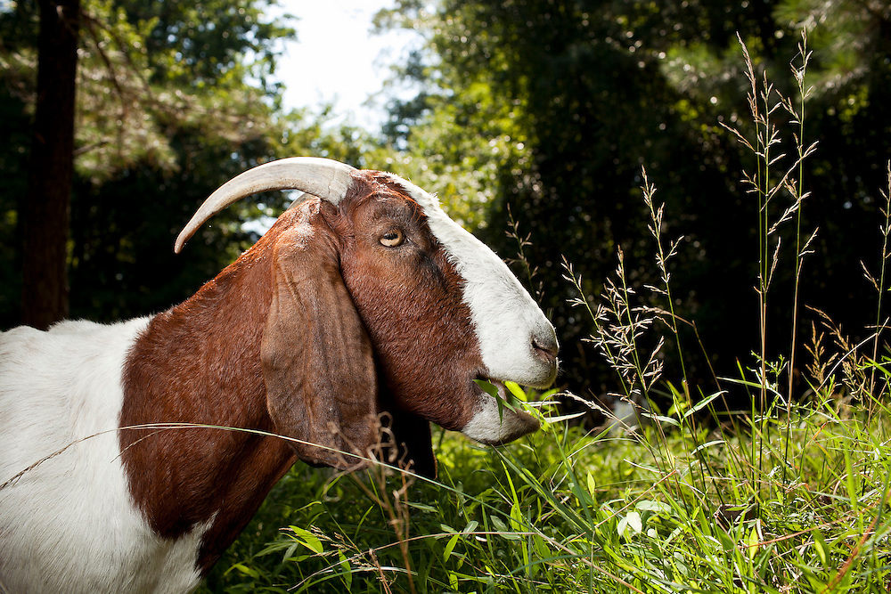 A Boer goat, part of a herd hired through Rent-A-Goat, chews up grassy vegetation on a lot-side easement in Chapel Hill, N.C., Thurs., July 22, 2010...D.L. Anderson for The Wall Street Journal..GOATS