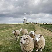 Nederland, Hedwigepolder, gemeente Hulst  19 juni 2010 20100619    ..Schapen op de dijk, de scheldedijk van de Hertogin Hedwigepolder in Zeeuws-Vlaanderen, de Nederlandse polder die ontpoldert zou moeten worden als de Westerschelde uitgediept word. In de achtergrond de Belgische kerncentrale Doel. kernenergie atoomcentrale Kernreactor Kernreactoren kerncentrales schapen schaap grazende Nuclear power plant vee Atoomstroom , ruimtelijke omgeving, ruimtelijke ordening, rust, rustgevend, rustiek, rustieke, rustieke omgeving, rustig, rustige, Samen werken met water, schaap, schapen, schepping, schone lucht, schoon, schoonheid, sea level, sealevel, sheep, space, sprankelend, sprankelende, stijging zeespiegel, stil, stilleven, stilte, stock, stockbeeld, streek, sustainable, tegen, terrein, typerend, typical dutch landscape, typisch hollands, typisch hollands landschap, typische, uitgestrektheid, uitstoot, uitstooten, uitzicht, uniek, unieke, veiligheid, vergezicht, vergezichten, verte, vervuiling, vlaams, vlaamse, Vlaanderen, vrij, vrijheid weer, water level, waterbeheer, Waterbeheerplan, waterhuishouding, waterkering, waterkeringen, Waterkeringen, waterlevel, watermanagement, waterniveau, waterpeil, waterplan, waterproblematiek, waterstaatkundige, waterstand, watersysteem, waterveiligheid, waterveiligheid en gebiedsontwikkeling, waterwerken, wei, weide, weidegang, weiland, weiland. Landscape, wijdheid, wijds, wijdsheid, wit, witte, wolk, wolken, wolkenpartij, zeeland, Zeeuws, zeeuws vlaanderen, zeeuws-vlaanderen, Zeeuwse, zo vrij als een vogel, ZVL.. Foto: David Rozing