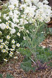 Crambe maritima (Sea Kale) with Dianthus 'Mrs Sinkins' and white Helianthemum