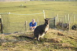 EXCLUSIVE: An Australian man has created his own Outback outpost 11,000 miles from home on the Shetland Islands – and he even has WALLABIES. Tasmanian Dave Kok, 42, has built his own Aussie oasis on the Scottish archipelago after deciding to settle there when he was travelling Europe. Now Dave lives with his Shetland native wife Louise, 38, and two daughters Caitlin, 11, and Ruby, aged four. Social care worker Dave came to the islands in the late 90s and since 2016 has been building his own watering hole choc-full of Australiana on the island of Burra. Dave's place 'The Outpost' is a renovated wooden porta cabin filled with Tasmanian beers, Tim Tams, books on bush craft and Aussie Rules sporting memorabilia. Locals use the Outpost as their local bar and meeting place, as the nearest pub or café is three bridges and three islands away. And visitors can now enjoy the Outpost's wallabies Ned and Kelly who David brought to the island this winter. Based on the Shetland Islands latitude the marsupials could be the most northerly of their species anywhere on the planet. Dave said visiting Australians are often surprised to find the antipodean paradise in such a remote location. 16 Feb 2018 Pictured: Pic from Dave Donaldson/ Magnus News Agency. Pic shows David Kok and wallaby Ned at the Aussie-themed Outpost in the Shetland Islands. An Australian man has created his own Outback outpost 11,000 miles from home on the Shetland Islands – and he even has WALLABIES. Tasmanian David Kok, 42, has built his own Aussie oasis on the Scottish archipelago after deciding to settle there when he was travelling Europe. Now David lives with his Shetland native wife Louise and two daughters Caitlin, 11, and Ruby, aged four. Social care worker David came to the islands in the late 90s and has built his own watering hole choc-full of Australiana on the island of Burra. David's place 'The Outpost' is a renovated wooden porta cabin filled with Tasmanian beers, Tim Tams, books