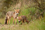 Red Fox (Vulpus vulpus) adult observing a cub as it goes out exploring