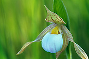 Small white lady's-slipper (Cypripedium candidum)<br />Tolstoi Tall Grass Prairie Prese<br />Manitoba<br />Canada