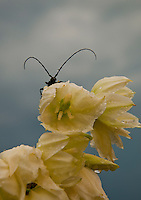 Close-up of an insect with long antennae sitting on a white flower.