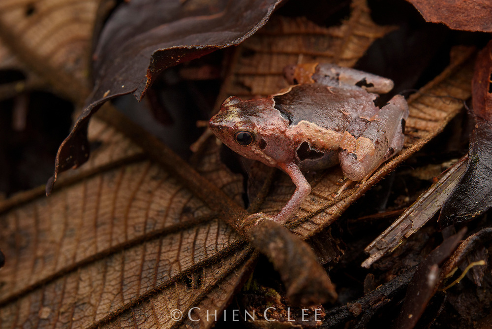 A confusing array of small Microhylid frogs occur in Borneo and it is likely that many cryptic species such as this one (Microhyla cf. perparva) await distinction. Sarawak, Malaysia.