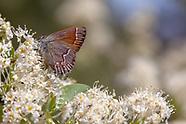 Callophrys siva near chalcosiva - Great Basin Juniper Hairstreak