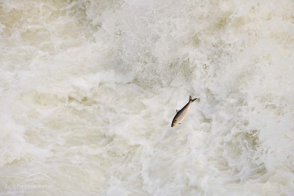 An American Shad jumps in the rapids below the Holyoke Dam on the Connecticut River.  Holyoke, Massachusetts.