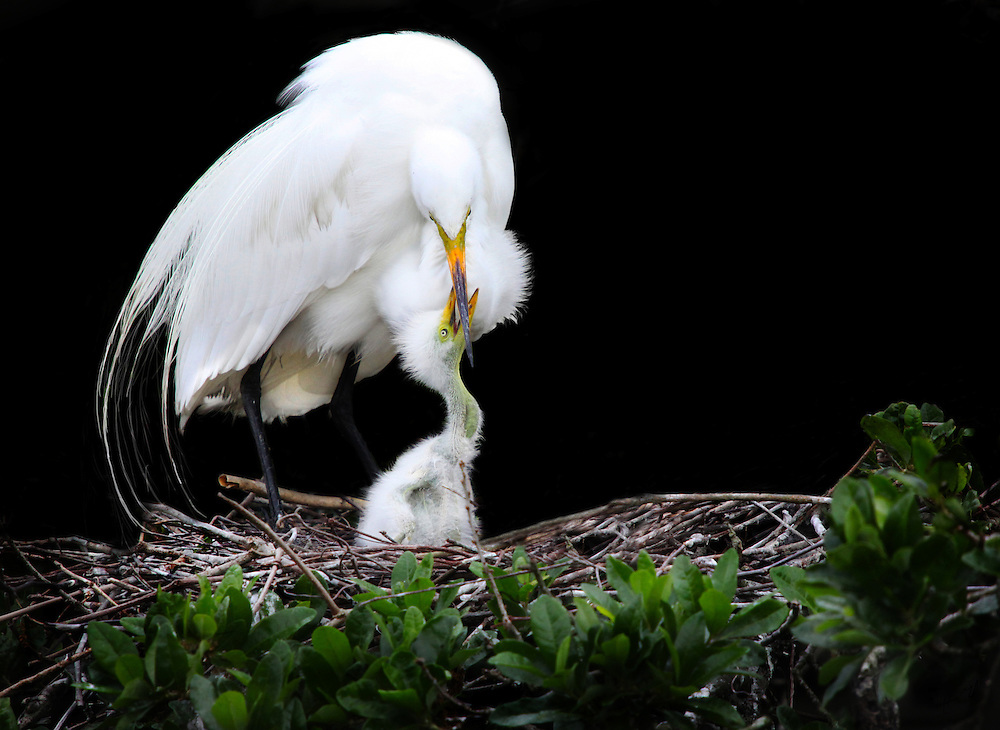 Great White Egret playig with her 2 da old chick.  Nest is in Mangrove Tree, Florida Everglades