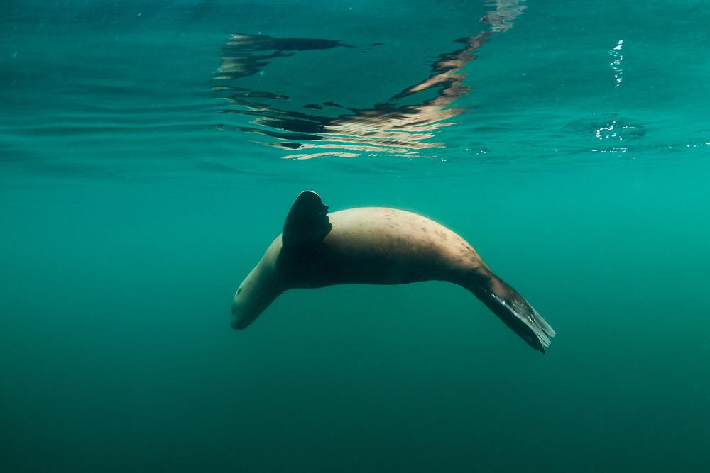 USA, Alaska, Angoon, Underwater view of Steller's Sea Lion (Eumetopias jubatus) swimming at ocean surface