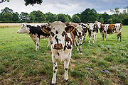 Brown and white French Normandy cow with herd of cattle in a meadow in rural Normandy, France