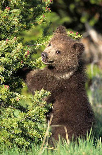 Grizzly Bear, (Ursus horribilis) Spring cub. Southwest Montana.  Captive Animal.