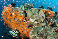 "Abundant reef fishes around a colorful soft coral encrusted ""Bommie""<br /> <br /> <br /> Shot in Indonesia"