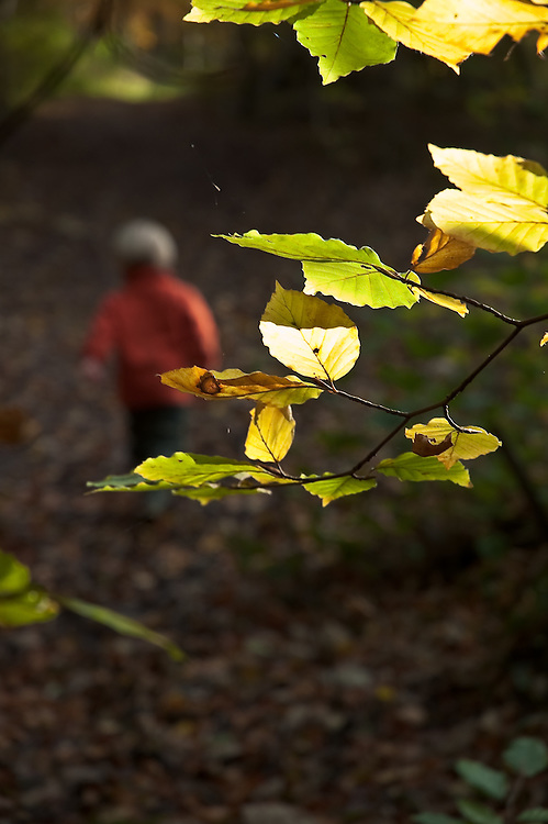 Small boy with autum leaves at Lowther woods, Lowther Castle, Eden Valley, Cumbria, England, UK